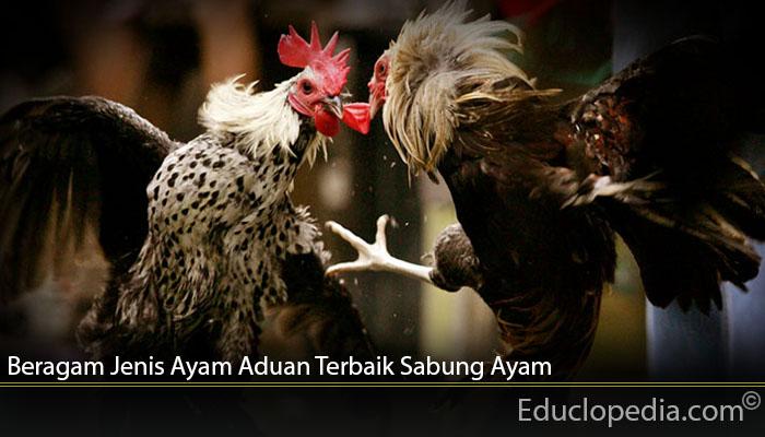 Beragam Jenis Ayam Aduan Terbaik Sabung Ayam