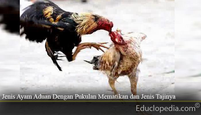 Jenis Ayam Aduan Dengan Pukulan Mematikan dan Jenis Tajinya