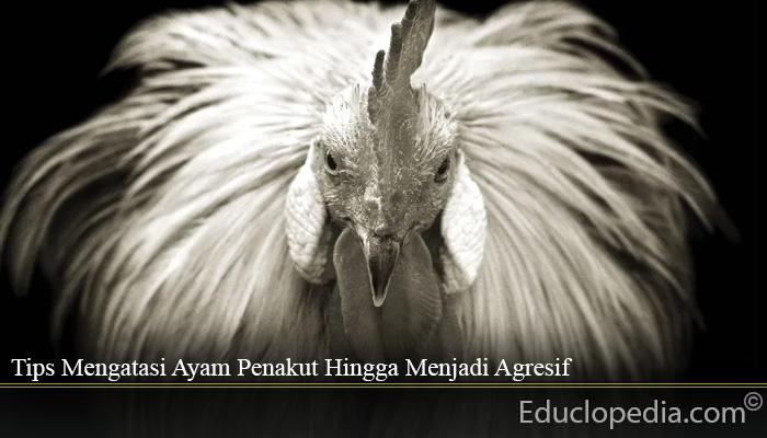 Tips Mengatasi Ayam Penakut Hingga Menjadi Agresif
