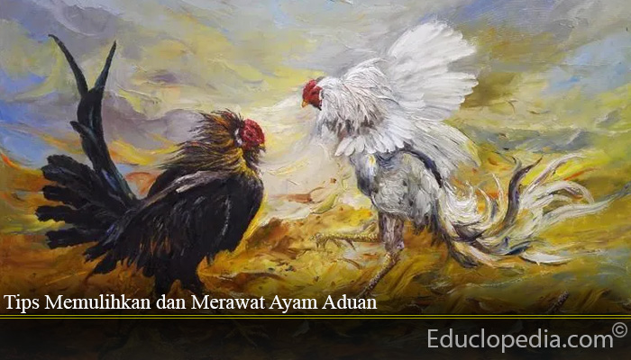 Tips Memulihkan dan Merawat Ayam Aduan